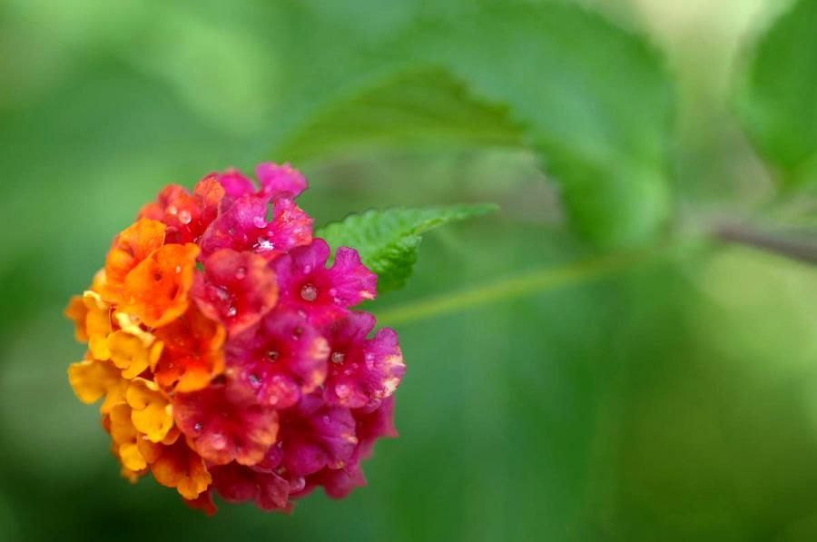 Lantana Annual Or Perennial Depending On Variety Flowers
