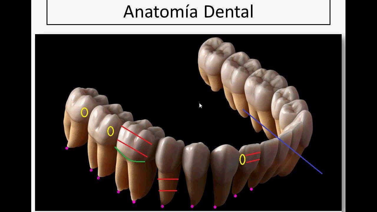 Anatomía Dental (Partes del diente) | moldes dentales | Pinterest ...