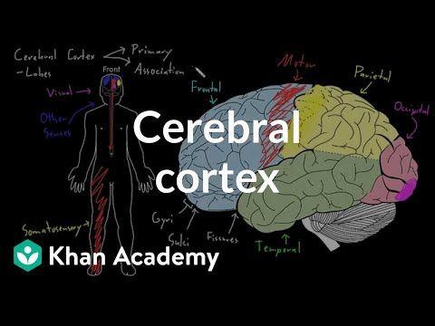YouTube | Cerebral cortex, Human brain anatomy, Anatomy