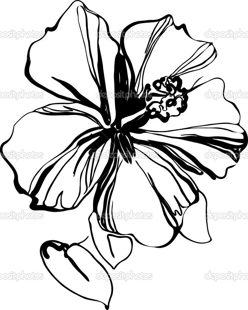 Hibiscus Black And White Sketch Drawing A Houseplant Stock Black And White Sketches Black And White Drawing Hibiscus Drawing