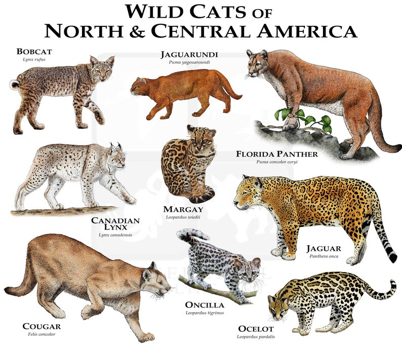 Pin On Wild Cats Are Amazing