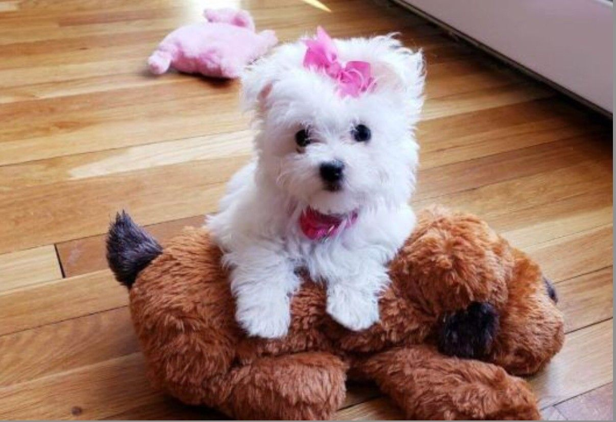 Pin on maltese puppies for sale