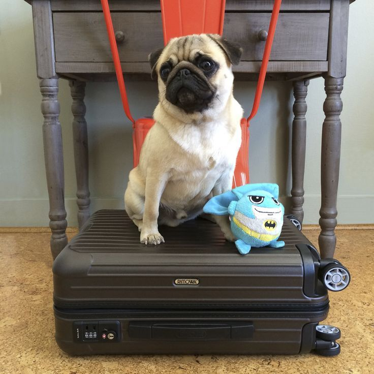 Nice Methods To Select Pet Pleasant Lodging The Pug Diary Pugs