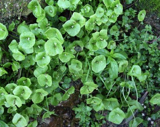 Perennial vegetables, perennial, vegetable gardening, garden, miner's lettuce, lettuce, salad