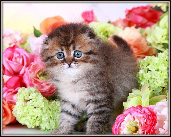 Shaded Golden Floppy Eared Persian Kitten Persian Kittens Teacup Kitten Teacup Kittens For Sale