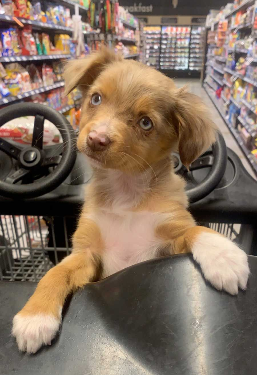 Gala The Toy Australian Shepherd Puppy Pictures Cute Dogs And Puppies Dog Photos