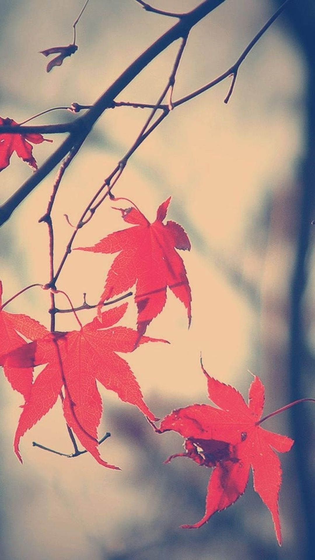 Autumn Romance Maple Leaf Branch IPhone 6 Plus Wallpaper