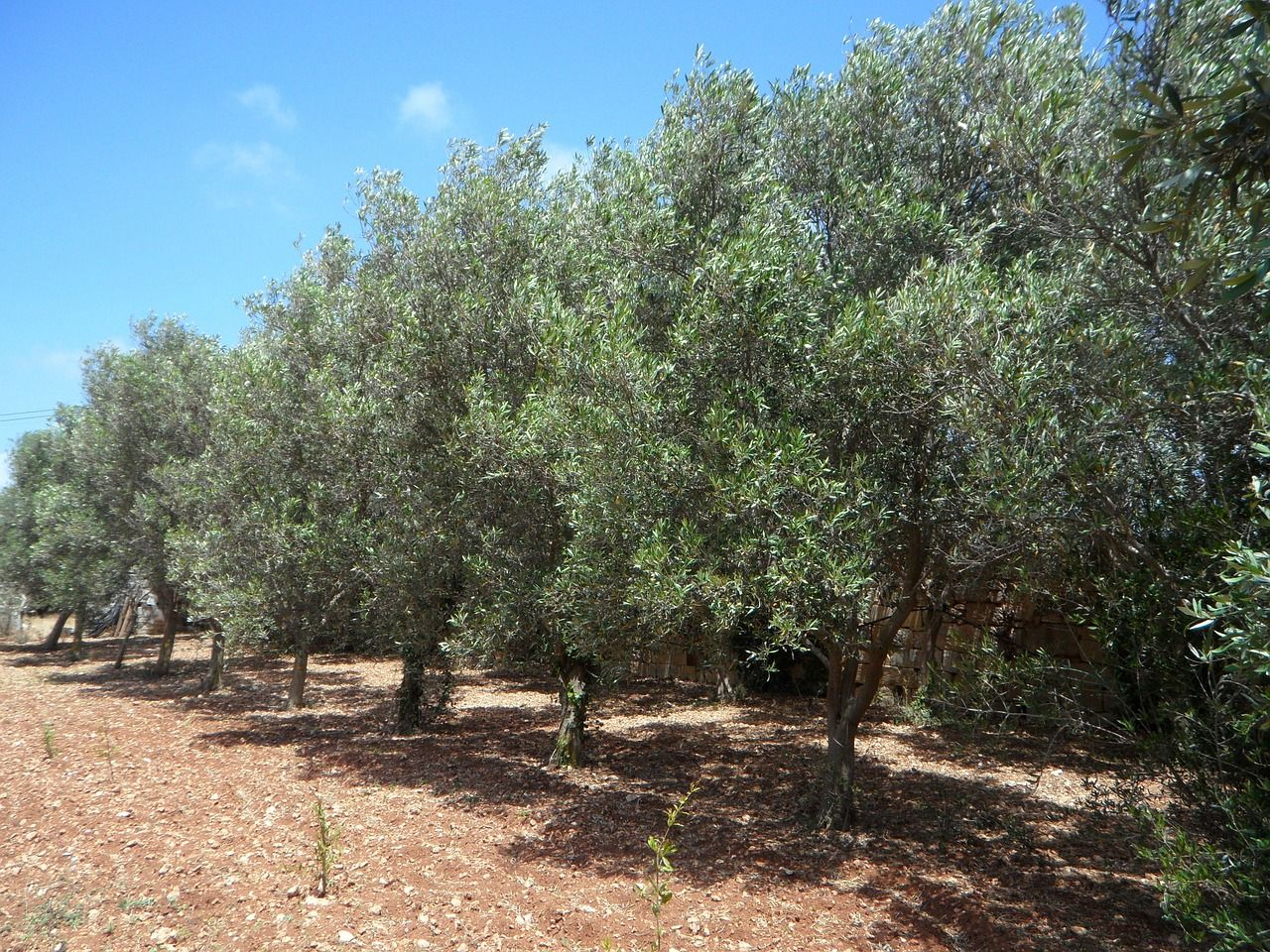 Cu Ndo Y C Mo Abonar Los Olivos Olivo Y Jardiner A ~ Cuando Hay Que Abonar Los Arboles Frutales