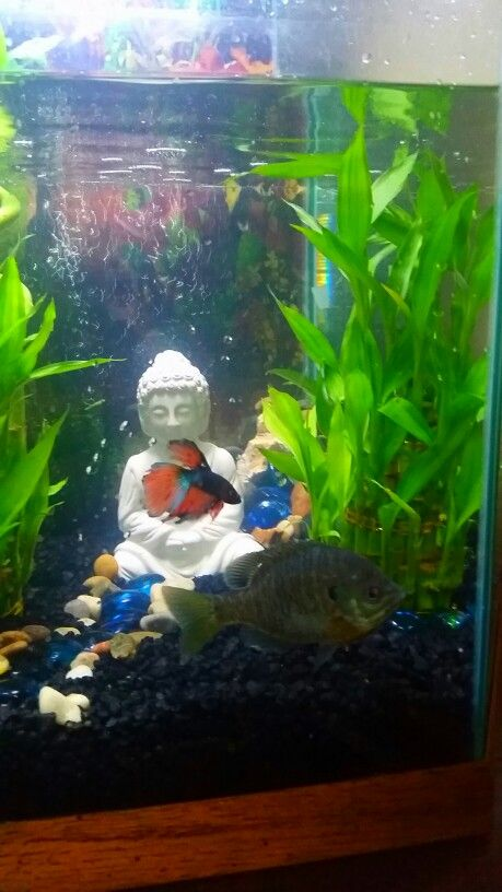 Beta fish and a blue gill together!