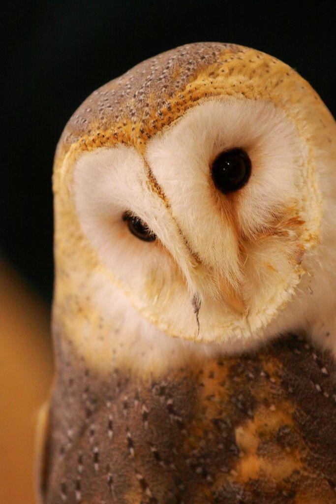 Schleiereule Barn Owl Barn Owl Owl Bird Beautiful Owl