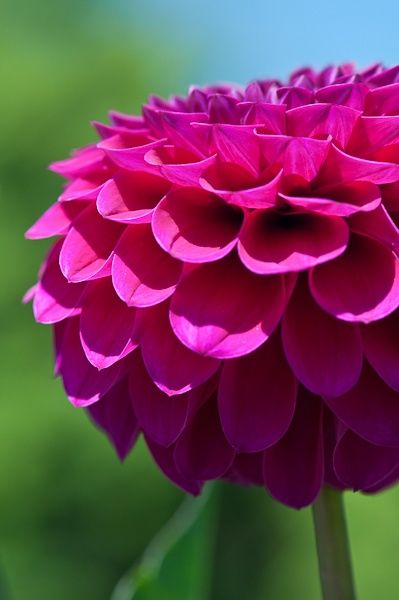 The Painted Bench Pink Dahlia Flowers Beautiful Flowers Amazing Flowers