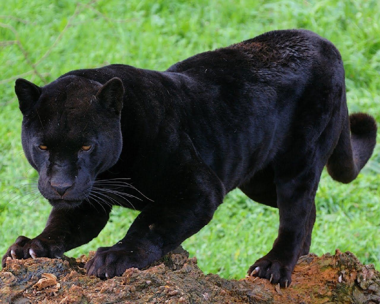 Fotografías de Panteras Negras - Felinos - Black Panthers Just ...