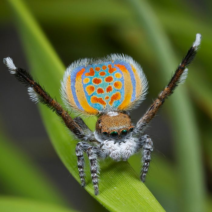 So cute! A new species of peacock spider, called Maratus pardus. Only 5mm in length. How lovely.