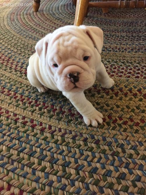 Litter Of 5 Bulldog Puppies For Sale In Meeker Ok Adn 36698 On