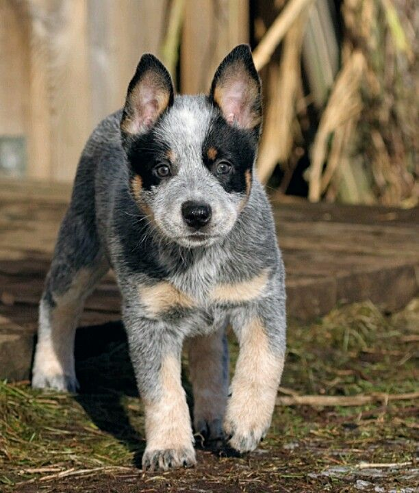 Heeler Blue Heeler Dogs Aussie Cattle Dog Cattle Dog