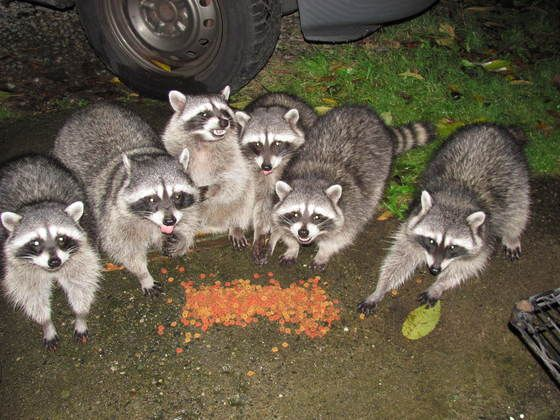 """Racoons"" (Submitted by Myron Danyleyko)"