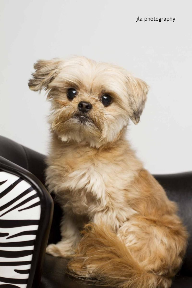 Adopt Gizmo Ii On Petfinder Pets Labrador Retriever Puppies Shih Tzu