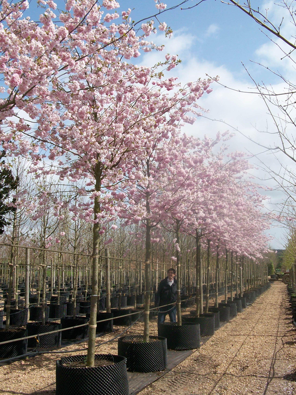 Prunus Accolade Flowering Cherry Cherry Trees Garden Flowering Cherry Tree Garden Trees