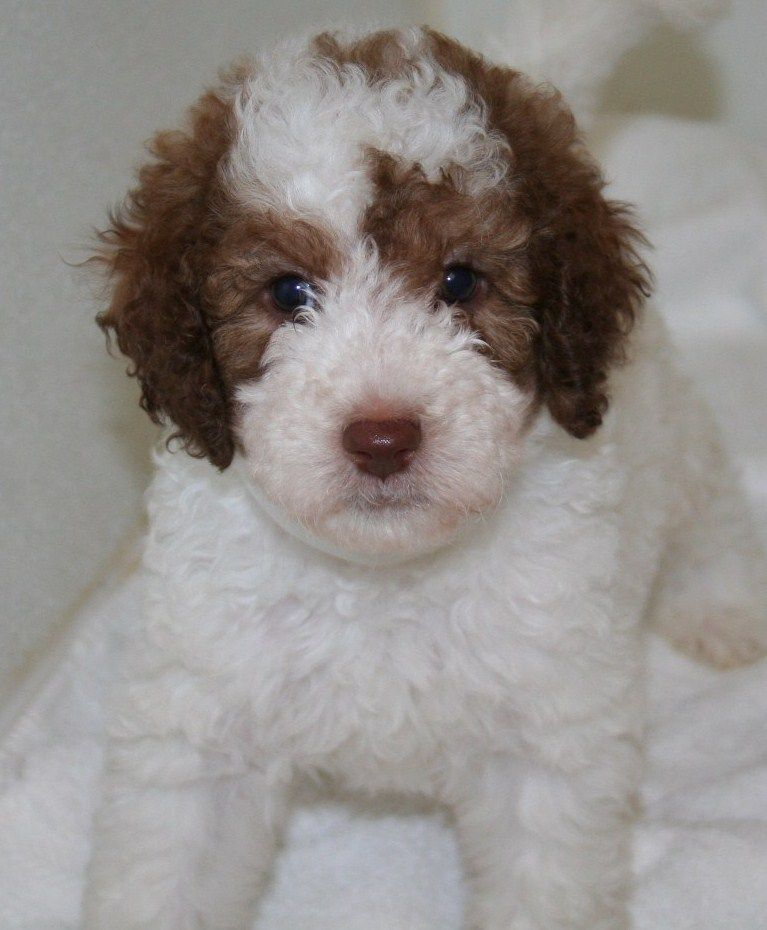 English Chocolate and White Parti Goldendoodles