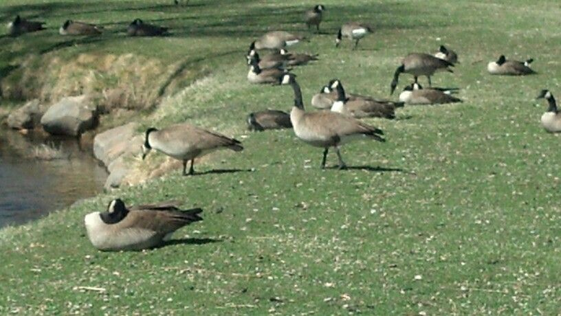 Chilling with the geese at Lampe Park, Gardnerville, NV