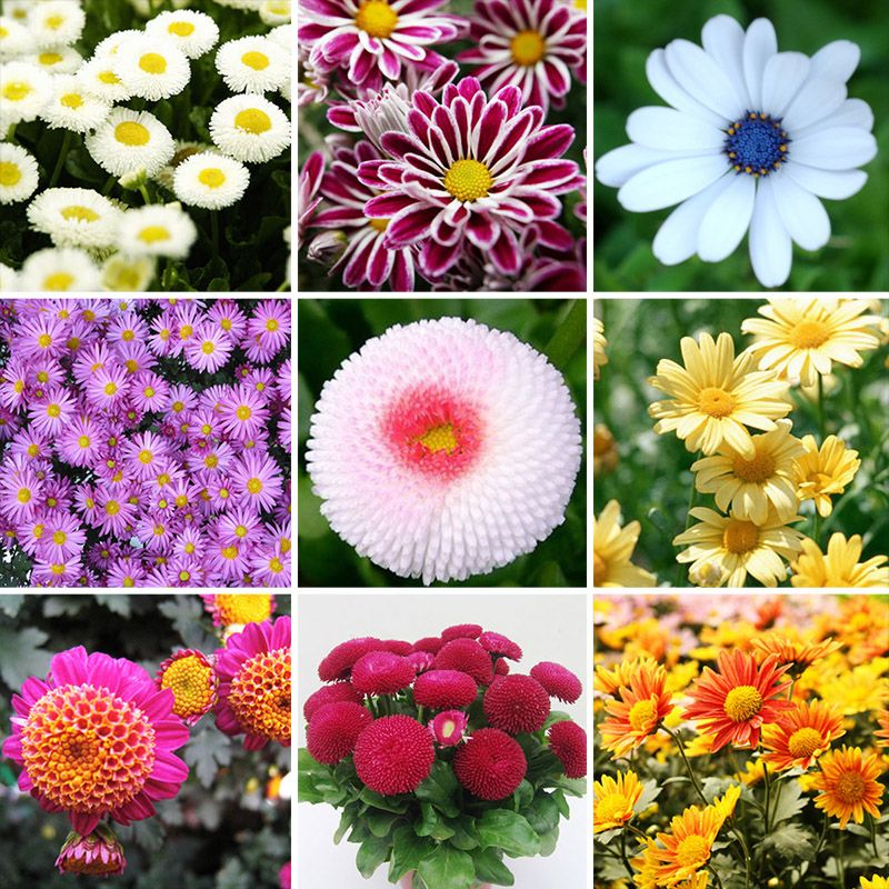 Bonsai Perennial 400 mix color Daisy Flower Seeds Blooms