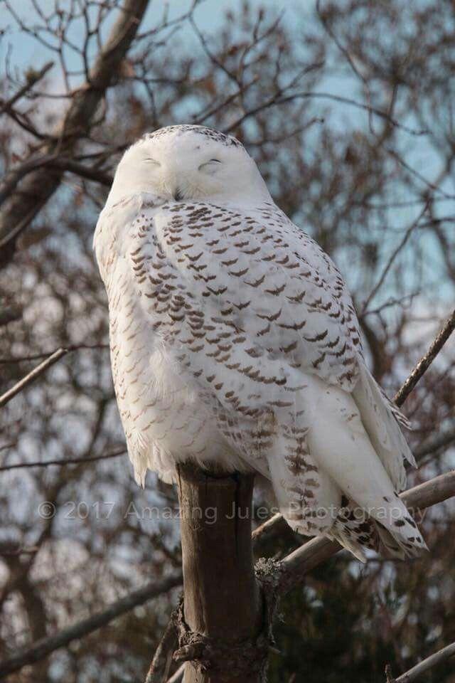 Snowy Owl Totem Pinterest Snowy Owl Owl And Bird