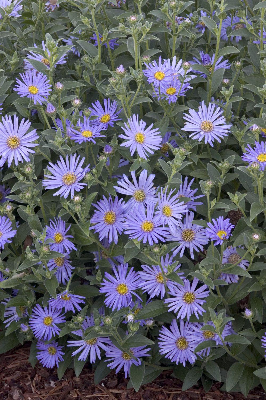 Wood S Blue New York Aster Monrovia Wood S Blue New York Aster Plants Perennials Aster Flower