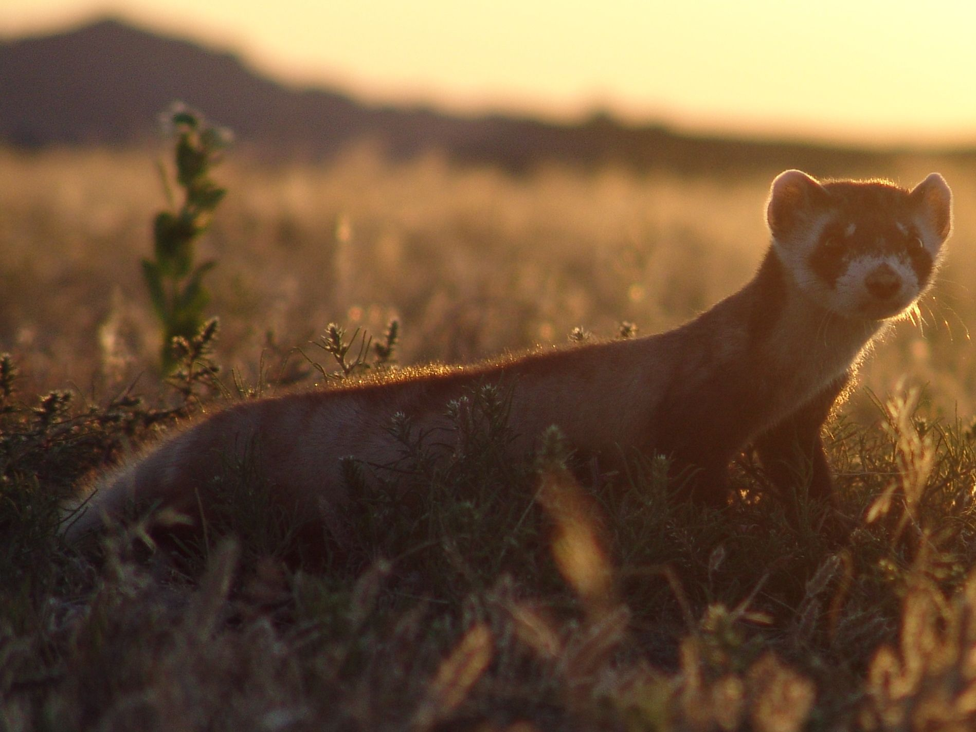 Black-footed ferrets!  www.prairiewildlife.org