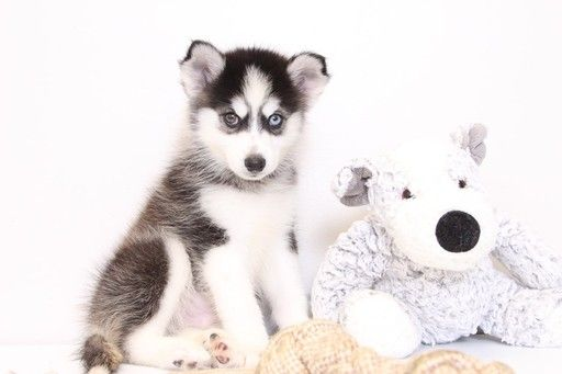 Siberian Husky Puppy For Sale In Naples Fl Adn 30071 On