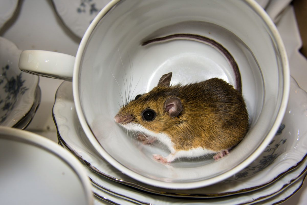 6 Secrets To Successful Mouse Trapping Cottage Life Mouse Problem Infestations Mice Infestation