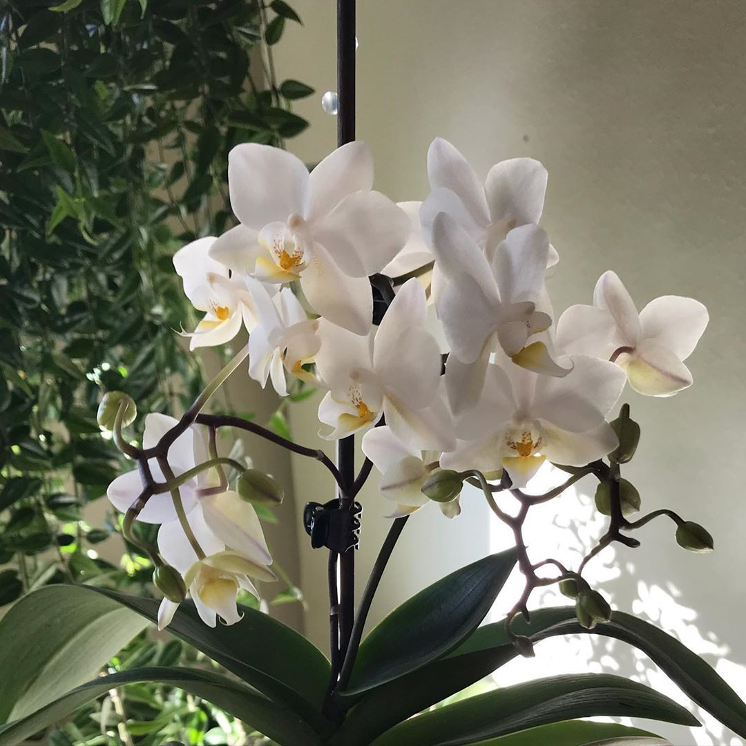 78d7f17d9313894aa415ddaeb4b19627 - How To Get An Orchid To Bloom A Second Time