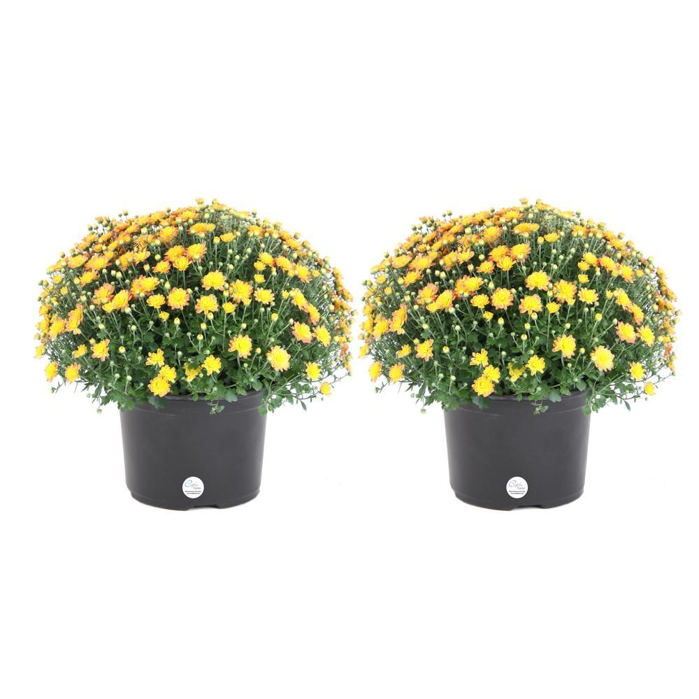 Costa Farms 3 Qt Yellow Ready To Bloom Fall Mums Chrysanthemum 2 Pack Fall Mums Chrysanthemum Mums Flowers