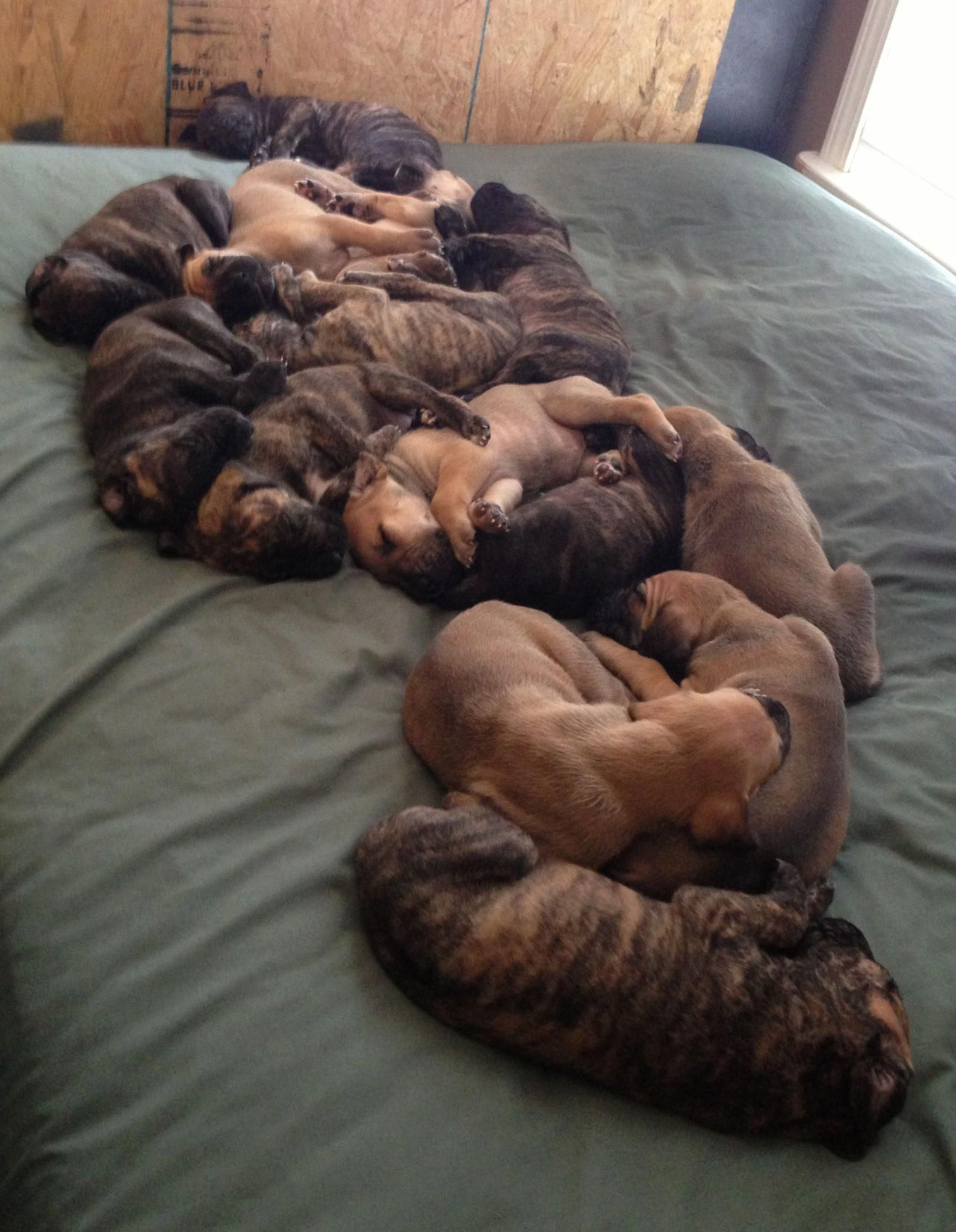 That S A Whole Mess Of Great Dane Pups Greatdanepups Really