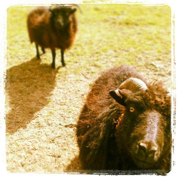 Beautiful ram