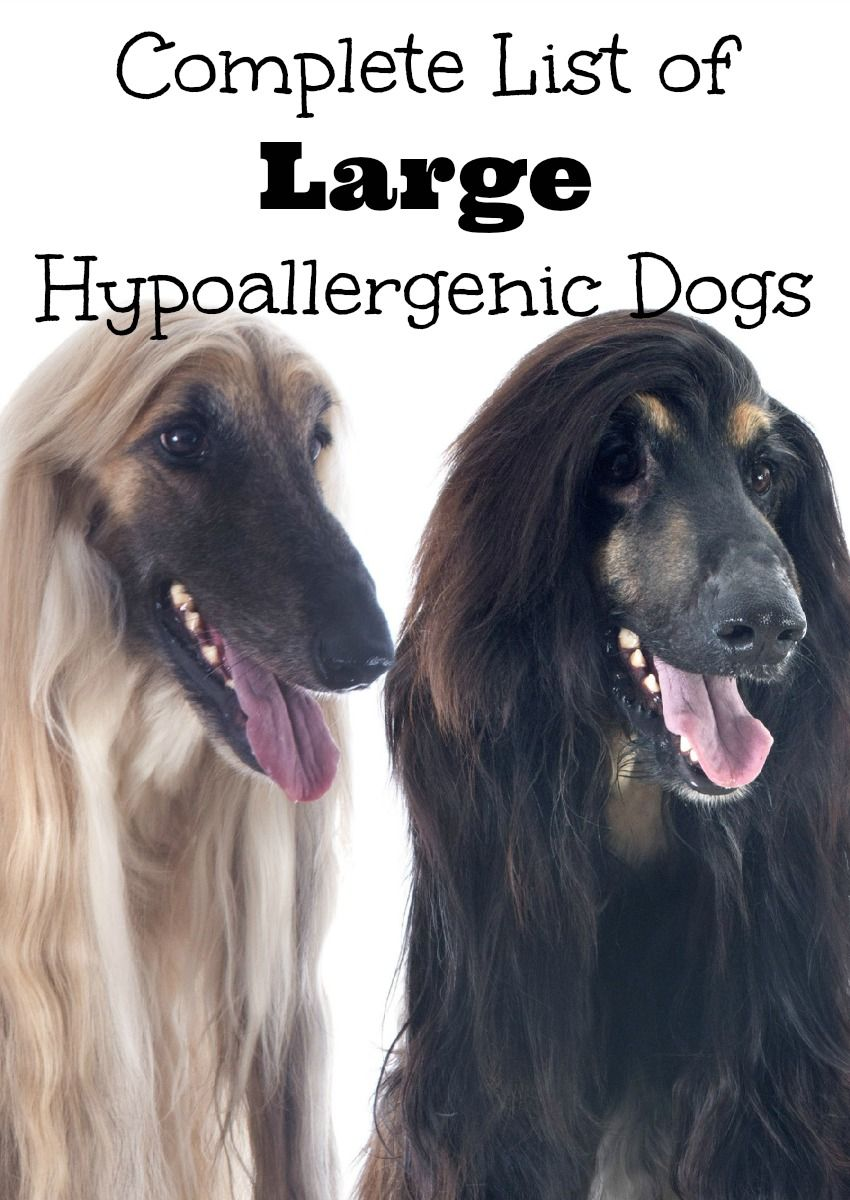 Complete List Of Large Hypoallergenic Dogs Dogvills Hypoallergenic Dogs Large Hypoallergenic Dogs Medium Hypoallergenic Dog Breed