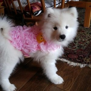 When This Samoyed Puppy Dressed Up As A Loofah Samoyed Puppy Samoyed Cute Fluffy Dogs