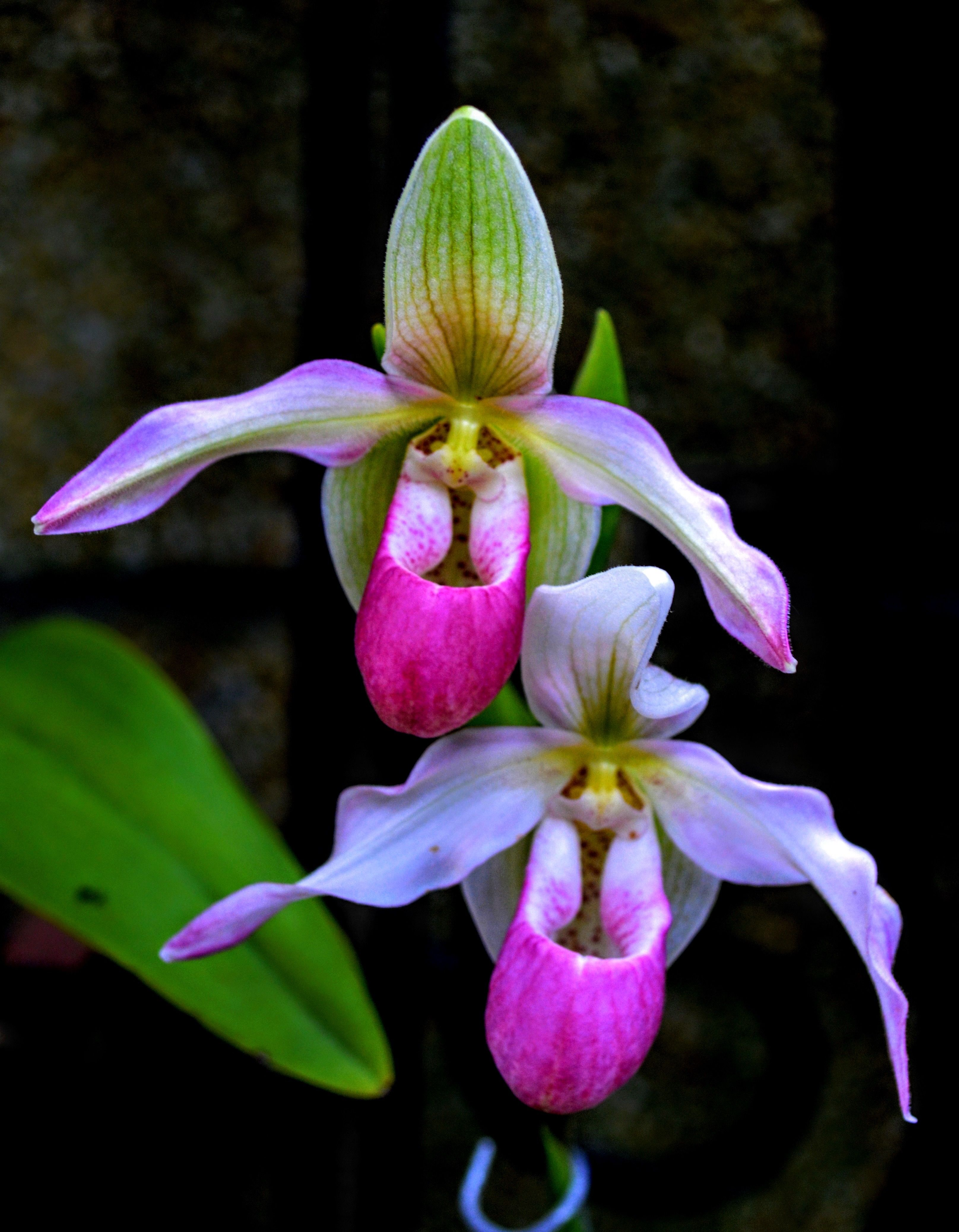 Pin by light on pinterest orchid ladies slippers and orchid flowers pink orchids nature plants flowers nature hawaii flowers unusual flowers beautiful flowers orchidaceae womens slippers raw beauty izmirmasajfo