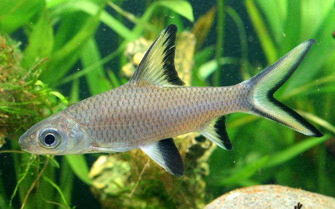 Freshwater shark poisson d 39 eau douce pinterest - Poisson shark aquarium ...