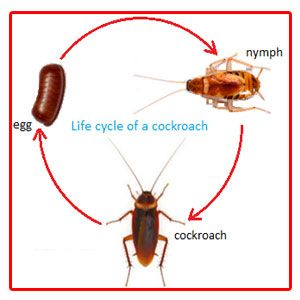 Cockroach Life-Cycle | bismie | Life cycles, Teaching handwriting ...