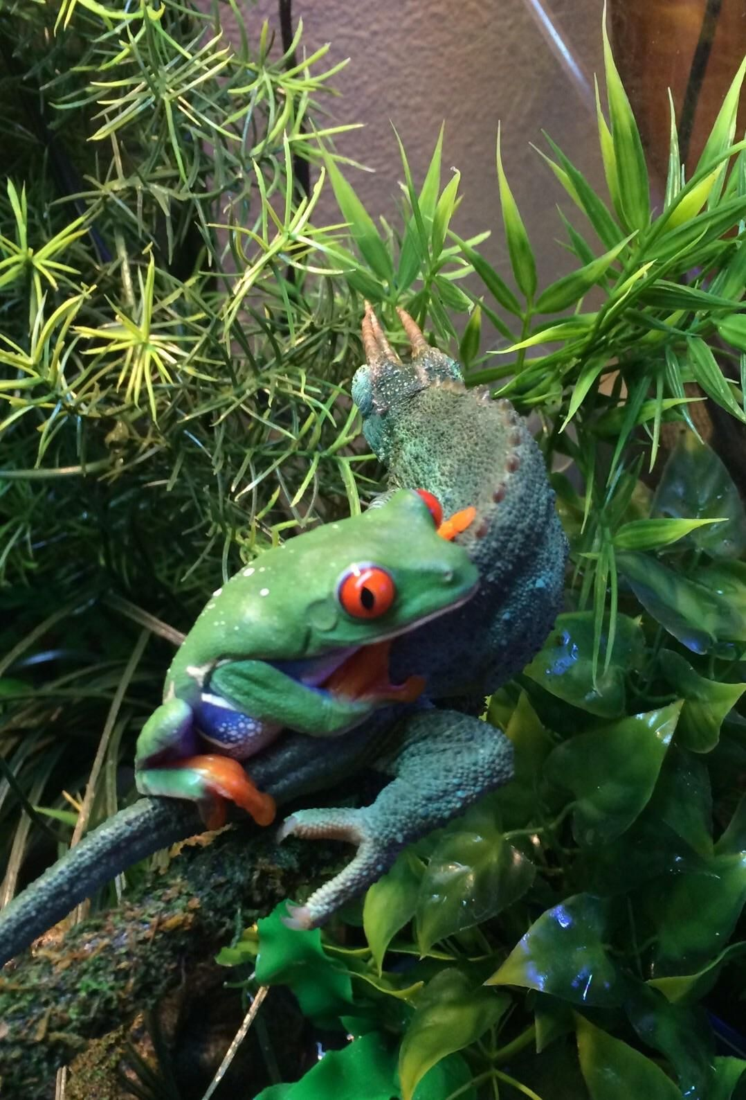 Redeyed tree frog cuddling my Jackson's chameleon Red