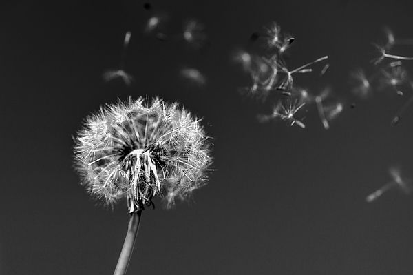 Wish for Love Dandelion