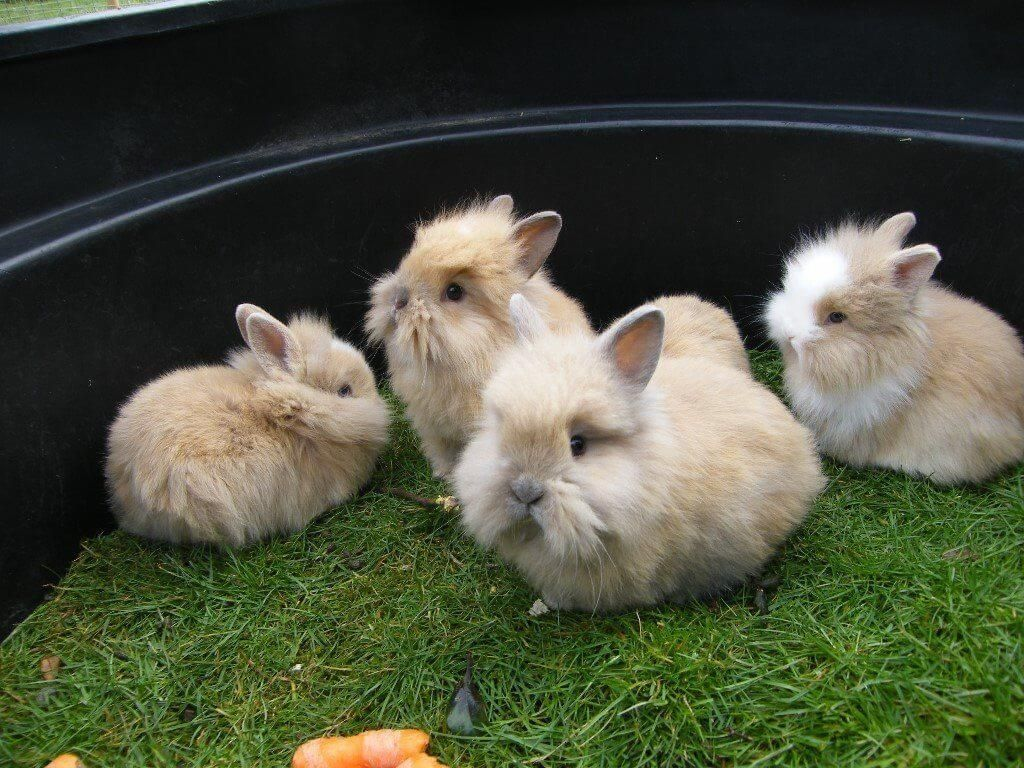 All you need to know about the lionhead rabbit lionhead
