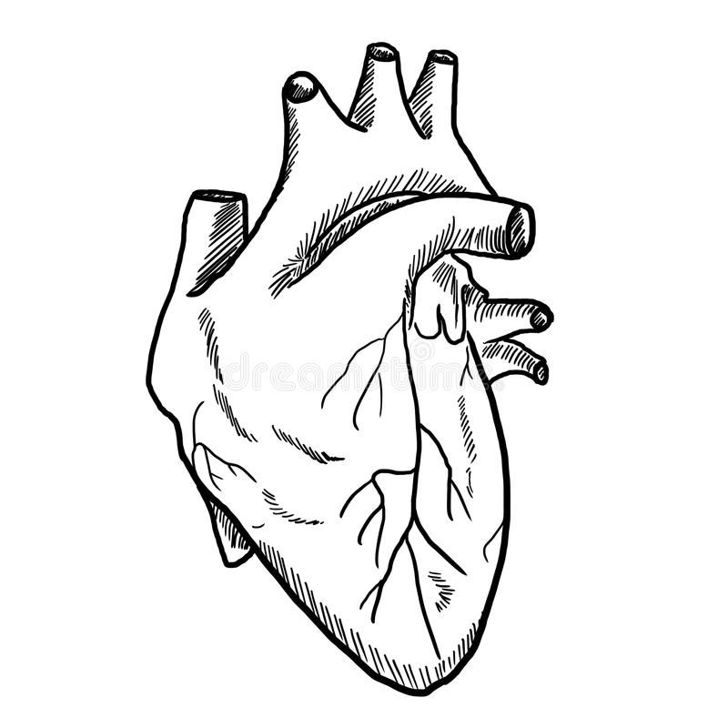 Resultat De Recherche D Images Pour Coeur Humain Dessin Coeur