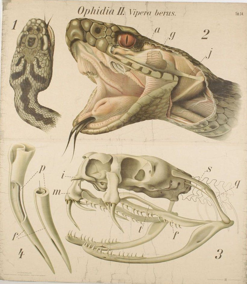 Poster showing the anatomy of the head of an adder | Expressions and ...