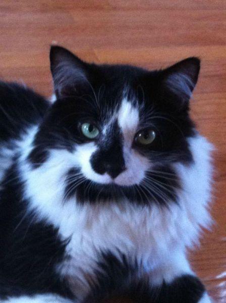 Lost Cat Domestic Medium Hair Niagara Falls On Canada L3m 1k4 Lost Cat Cats Furry Friend
