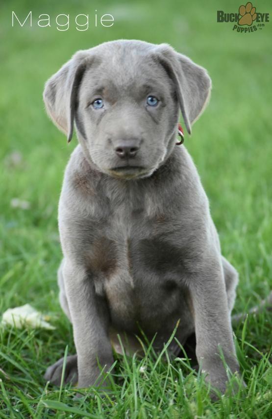 Maggie Silver Labrador Retriever Puppy for Sale in