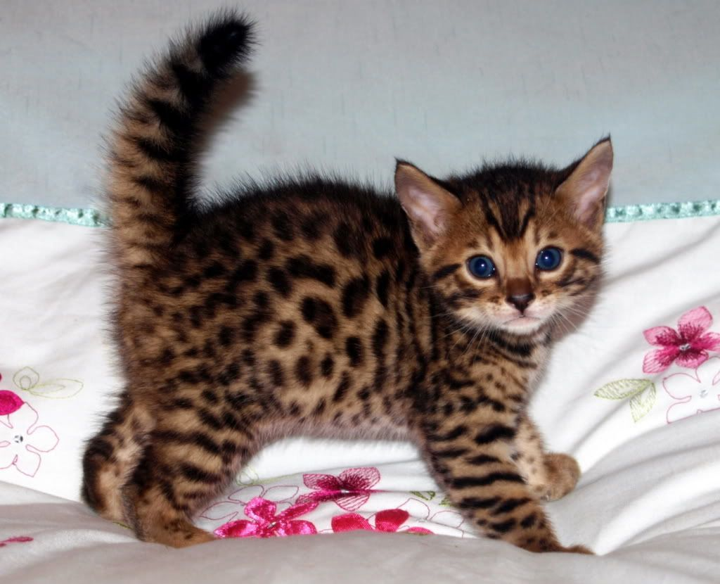 Pin By Leela On Baby Animals Bengal Kitten Cats Cute Cats
