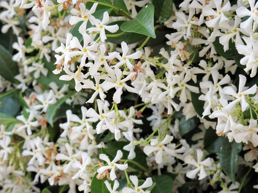 Night flowering jasmine stock flower images pinterest jasmine night flowering jasmine izmirmasajfo
