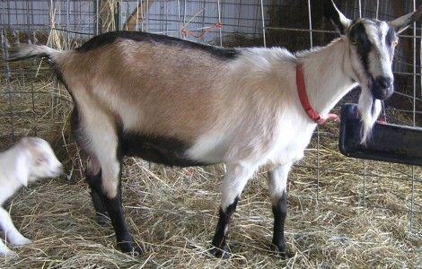 Alpine Goat Alpine Goats Goat Farming Goat Picture