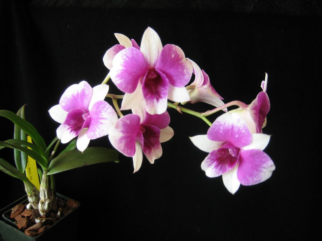 Den Burana Doll 32 2 Beautiful Orchids Purple Flowers Different Types Of Flowers